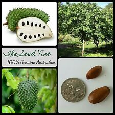 5 SOURSOP GUANABANA TREE SEEDS (Annona muricata) Tropical Graviola Fruit Edible
