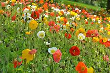 FLOWER PAPAVER POPPY NUDICAULE ICELAND MIX  4000 SEEDS