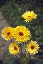 Flor-Caléndula-Pacific belleza Limón-Pot Caléndula - 5000 semillas-Grande