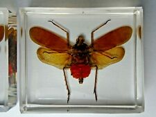 Real Planthoppers insect: NEOLIEFTINCKANA FUSCATA immortalized in casting resin.