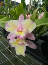 New listing Blc Momilana Rainbow w/ Yellow Flares orchid plant (154)