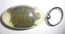 Large Key Ring Farmed Red-eared Slider Turtle Specimen Glow in the dark