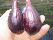 New listing Black Orak Fig 2 Fresh Cuttings