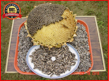 60++ Israeli_Giant Seeded Sunflower Seeds * Giant seeds * GIGANTIC MONSTER! HOT