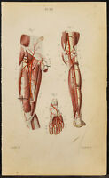 1846 - Planche anatomie Angiologie : Artères de la jambe, pied / Médecine