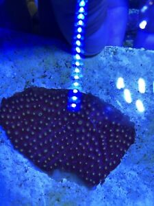 CB Bling Bling Cyphastrea ~ Live Coral Frag ~Combined Shipping Is Available!!