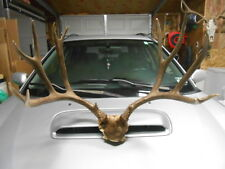 "26 2/8 wide 7x6 MULE DEER RACK 171-3"" antlers whitetail sheds taxidermy mount"