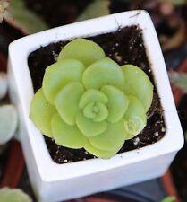 """2"""" Cuttings Aeonium lily pad Cute RARE PLANT SUCCULENT Cactus Crassula Live"""