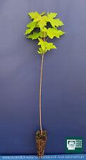 ACER SACCHARINUM alveolo acero argenteo 1 pianta plant