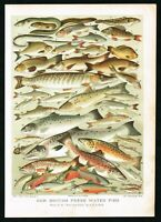 1897 British Freshwater Fishes, Trout, Salmon, Antique Victorian Print - Lydon