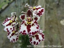 ORCHIDEE    TOLUMNIA   JAIRAK  FIRM  DALMATIAN    BLÜHFÄHIG / BLÜHSTARK     7-15