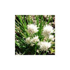 graines de  ciboulette blanche ou ail de chine vendu en sachet de 200 graines