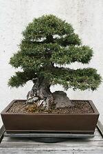 WEIßKIEFER 30 Samen Pinus Sylvestris Waldkiefer Rotföhre  Forche Weiß Kiefer