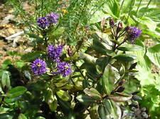 Véronique violette x1 plant de 10 cm