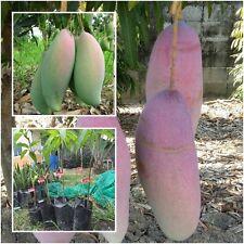 """Mango Tree Plant Grafted """"Nga Chang Daeng"""" Tall 18'' Fruit Tropical Thailand"""