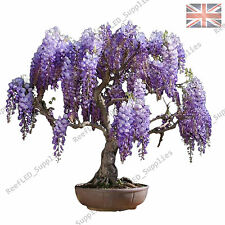 Rare violet glycine floribunda Bonsai Tree plantes fleuries - 10 graines viables