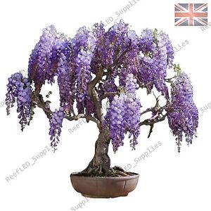Rare Purple Wisteria floribunda Bonsai Tree Flowering Plant - 10 Viable Seeds