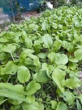 Pak choy Green 4700 Seeds 10G. Chia Tai For planting garden Easy to grow