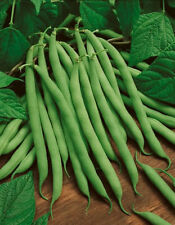 "Bean ""Blue Lake Bush"" Excellent Flavor HEAVY PRODUCERS 20+ SEEDS HEIRLOOM NONGMO"