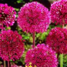 100 PCS Giant Allium Giganteum Globemaster Perennial Beautiful Flower Seeds