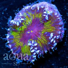 New listing Asd - 132 Wickedness Rock Anemone - Wysiwyg - Aqua Sd Live Coral Frag