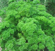 Parsley Heirloom Moss Curled 40 Seeds Excellent Flavor! Free Ship!