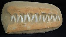 """Enchodus  """"Saber Tooth"""" Fish Fossil Jaw in matrix.  Huge piece with 16 teeth."""
