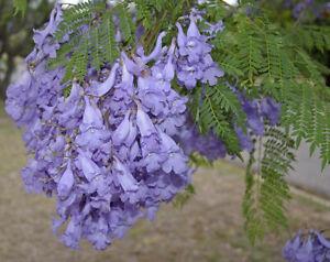 Jacaranda mimositolia tree 75 seeds