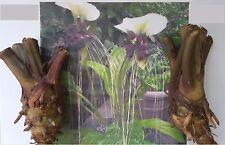 1x Bulbi bulbi Tacca Nivea White Juana-mouse Pianta Rarità originale Fresco