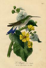 Antique Print-BIRDS-HUMMINGBIRD-FEMALE-SIDA MOLLIS-PL. 7-Le Maout-1853
