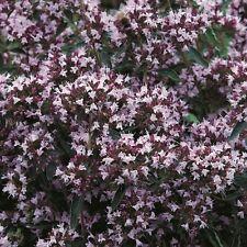 Herb Seeds - Marjoram Pot - 6000 Seeds