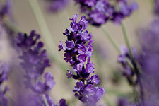1 lb Organic Dried Lavender Buds Great for sachets & soaps! New