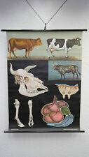Lavagna Didattica Poster Per Pareti Scolastiche Das Bovini Domestici