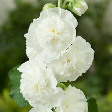 30+ HOLLYHOCK WHITE CHATERS DOUBLE FLOWER SEEDS - ALCEA / PERENNIAL