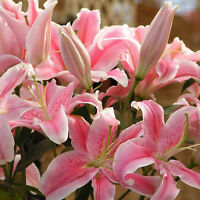50 Pink Rare Lily Flower Seeds Planting Flower Lilium Perfume Garden Decor L7