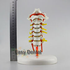 Professional Educational Cervical Vertebral Column Neck Artery Anatomy Model