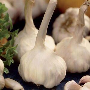 GARLIC Solent Wight (Softneck) 5,10 or 20 cloves of garlic