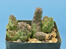 Piaranthus decorus cornutus [B] succulent Huernia Stapelia RARE [Seed Grown] B83