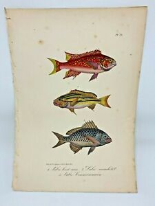 Fish Plate 72 Lacepede 1832 Hand Colored Natural History