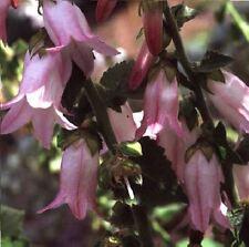 Flower - Campanula makaschvilii - 500 Seed