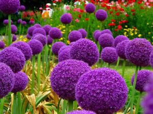Allium 'Globemaster' - 20 seeds - FREE UK DELIVERY