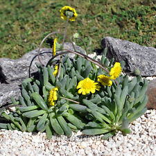 Miniature Fairy Garden Othonna capensis, Little Pickles, Ice Plant