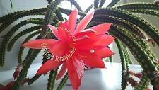 Bouture Cutting  Aporocactus Mallisonii