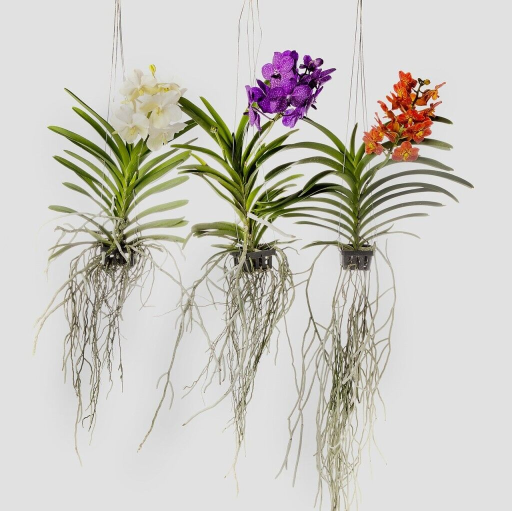 lankui tropical plant gift