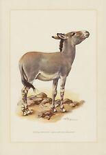Afrikanische Esel (Equus asinus) Somali-Wildesel  Farbdruck 1958