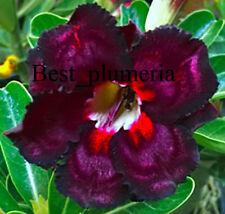 """Adenium Obesum Desert Rose """" SuperBlack"""" 110 Seeds RARE!!"""