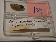 Chiton olivaceous Tunisia data 21 mm #184
