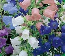 50+ HEIRLOOM CAMPANULA CANTERBURY BELLS PERENNIAL FLOWER SEED MIX /GREAT GIFT