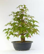 Bonsai Ahorn Acer palmatum yamamomiji 0573 Japanischer Fächerahorn Geschenk Tip