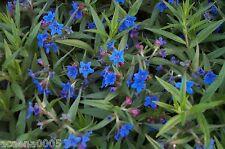 Steinsame, Buglossoides purpurocaerulea,  ab 2,58€ (Staffelpreise)